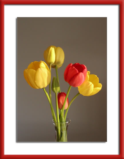 pics of tulips from our garden by Arun Shanbhag