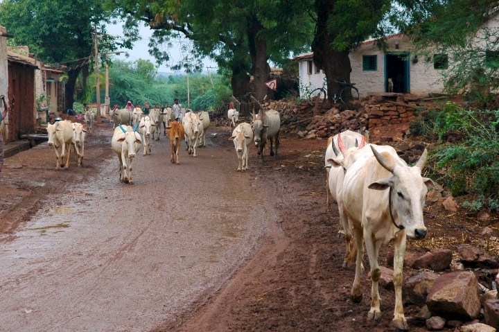 Pics of Cows on the way to Badami by Arun Shanbhag