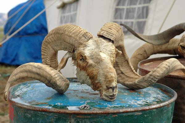 Sheep Head for sale
