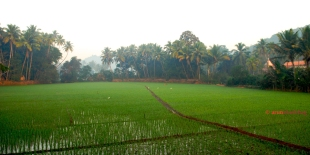 Pictures of Rice fields at Ramnathi Devasthan, Goa by Arun Shanbhag