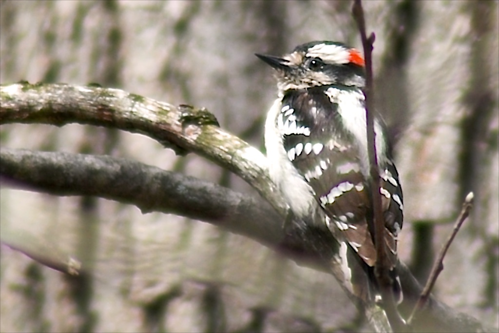 photos of male female downy woodpeckers by Arun Shanbhag