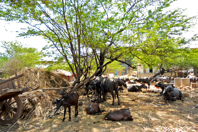 Water buffaloes resting under a grove by Arun Shanbhag