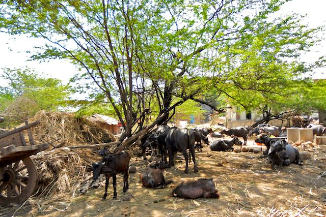 Water buffaloes resting under a grove by Arun Shanbhag