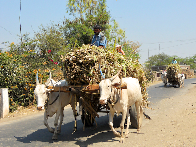 Bullock carts laden with sugarcane made their way to a sugar factory by Arun Shanbhag