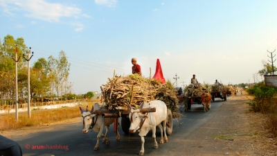 Pics of families transporting Sugarcane by Bullock Cart in India by Arun Shanbhag