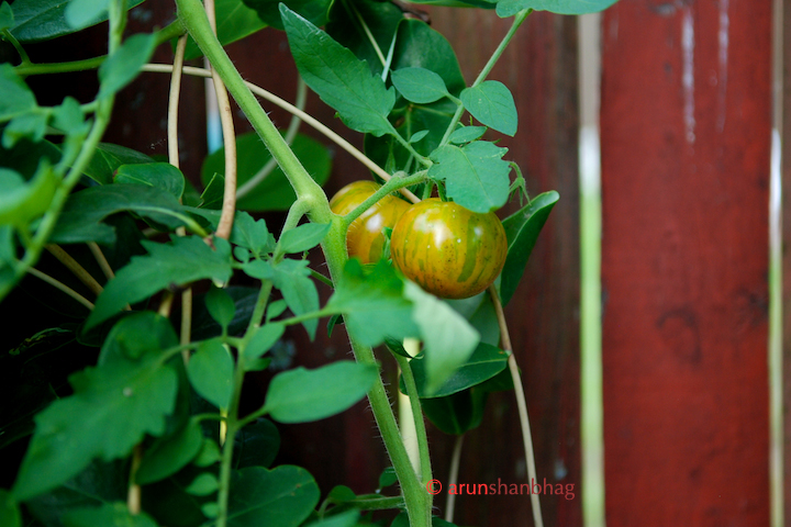 Pics of Heirloom Tigerella Tomatoes from garden by Arun Shanbhag
