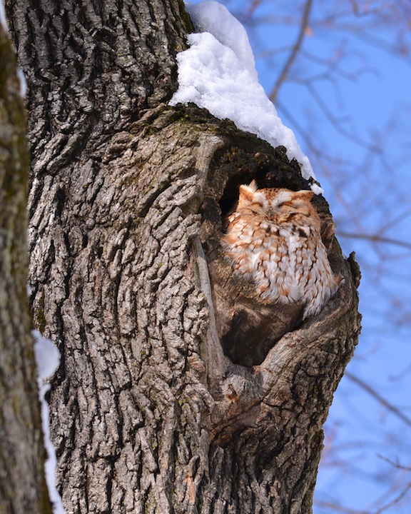 photo of Owl basking in the winter sun in Boston by Arun Shanbhag