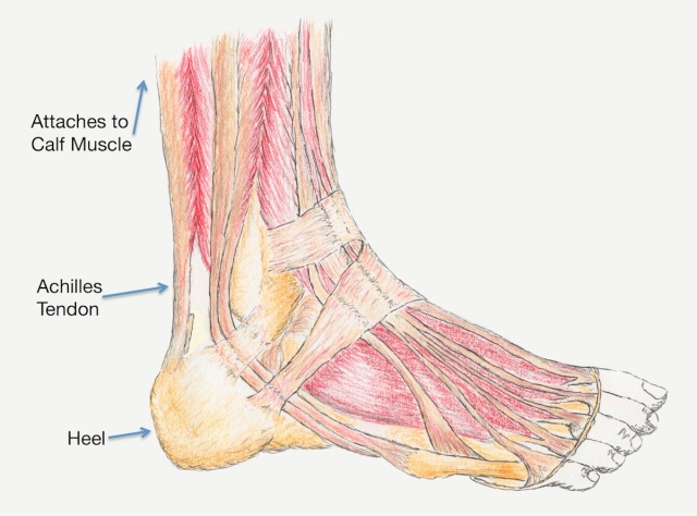 graphic pic of Achilles tendon anatomy