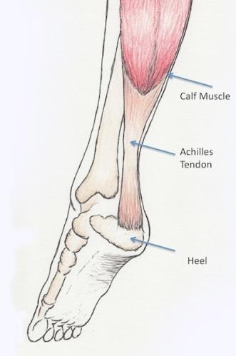 graphic pic of Achilles tendon anatomy