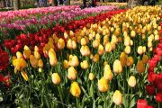 pic of tulips at Keukenhof Gardens Lisse Netherlands by Arun Shanbhag